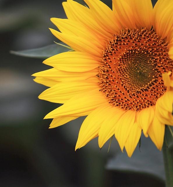 微信风景图片向日葵图像